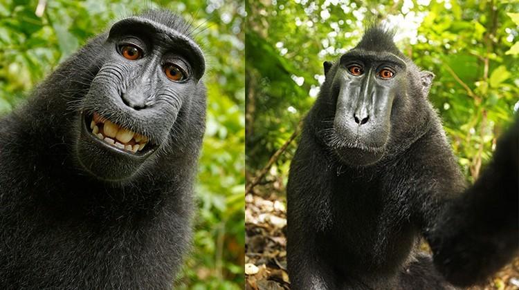 """Batalla legal por los derechos de autor de la """"selfie"""" de primate Naruto"""