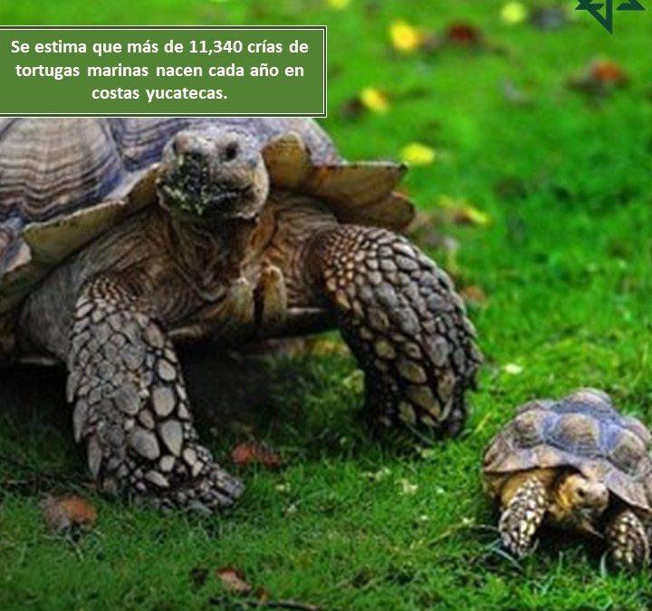 Se estima que más de 11,340 crías de tortugas marinas nacen cada año en costas yucatecas.