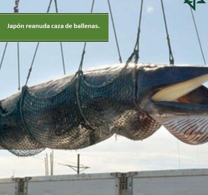 Japón reanuda caza de ballenas.